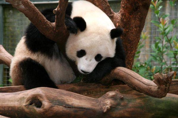 Panda Canyon