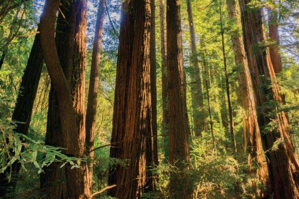 Stunning Redwoods