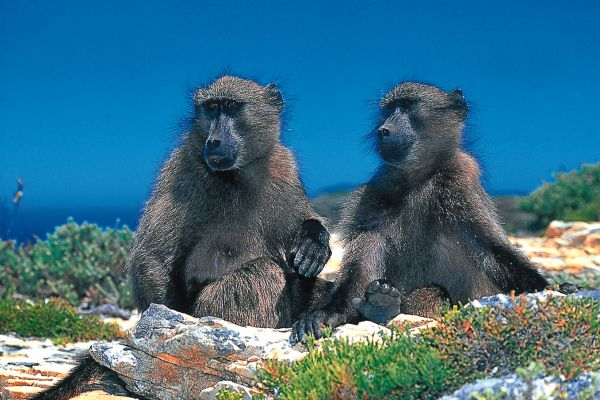 Some of the locals at Cape Point