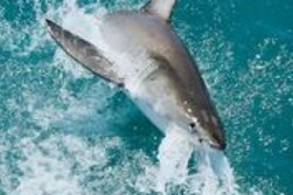 Great White Shark Cage Driving