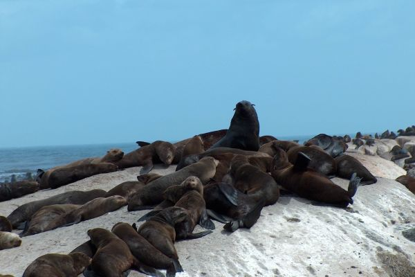 More Cape Fur Seals
