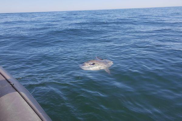 The Mola-Mola (Sun Fish)