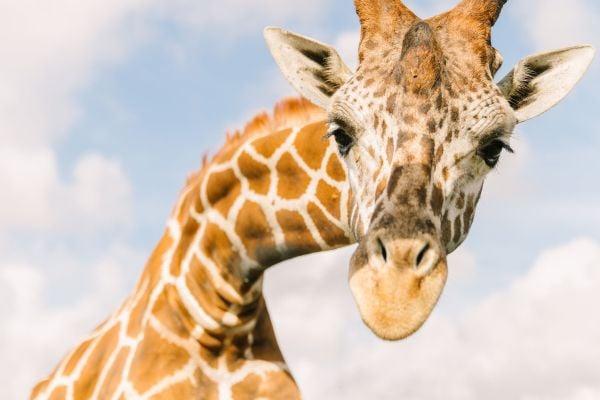 WF Giraffe