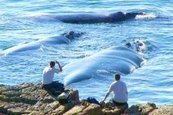Whales in Walker Bay
