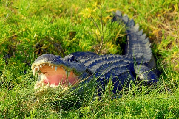 See some 150 rescued crocodiles  and freshwater American alligators