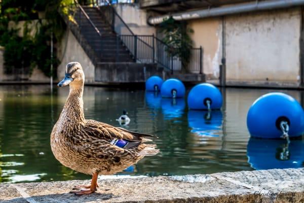 River Walk Duck