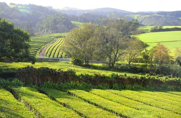 Campos de Chá e Fábrica da Gorreana